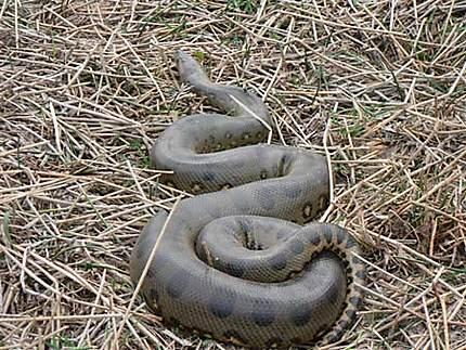 Anaconda des Llanos