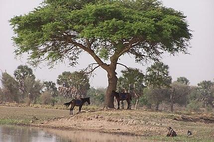 Chevaux prenant l'ombre dans le nord du Cameroun