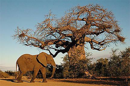 Eléphant et baobab