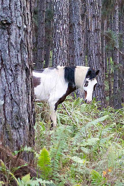 Les chevaux sauvages...