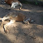 La sieste du Kangourou