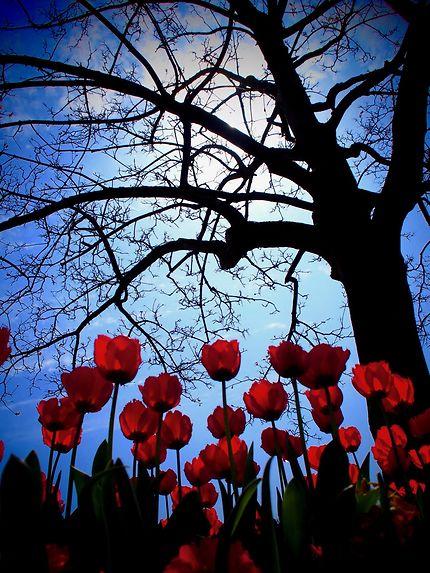 Tulipes irlandaises
