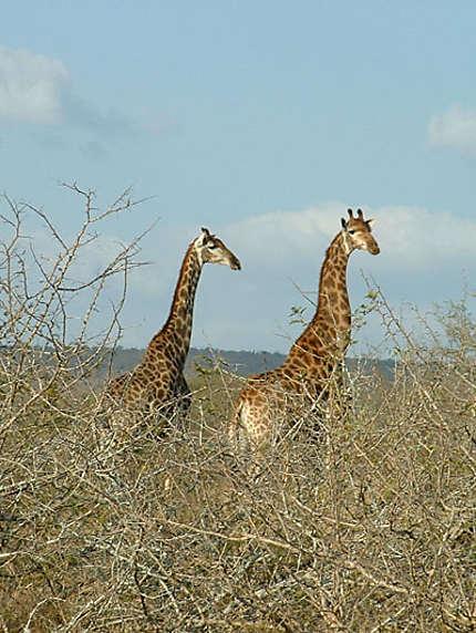 Mister & Miss girafe
