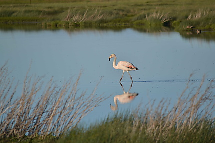 Flamand rose-Laguna Nimez