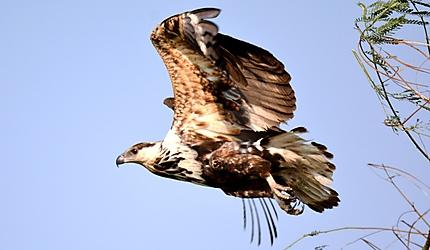 Crowned Eagle - Aigle couronné