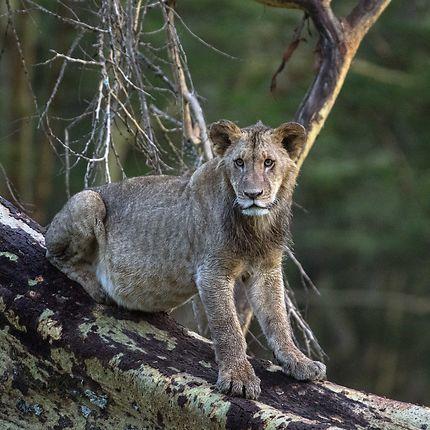 Lionne en Afrique