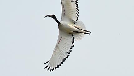 African Ibis Sacred - Ibis sacré