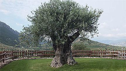 Bel olivier