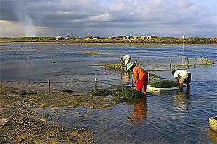 Ramassage d'algues