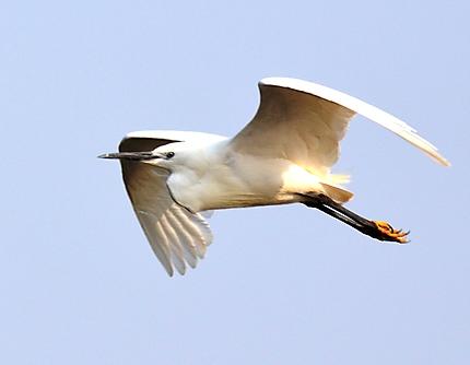 Little Egret - Aigrette garzette