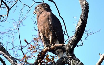 Brown Snake Eagle - Circaète brun