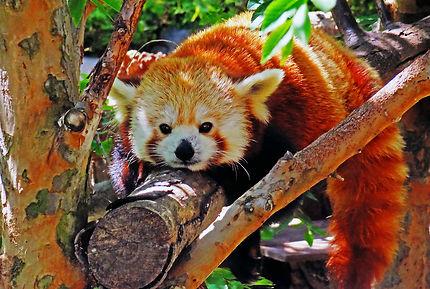 Panda roux au Zoo de San Diego