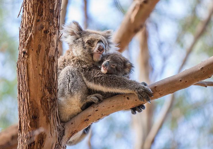 Koalas, Hanson Bay, Kangaroo Island, Australie du Sud