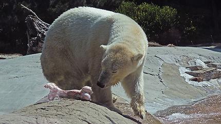 Ours Blanc au Zoo de San Diego