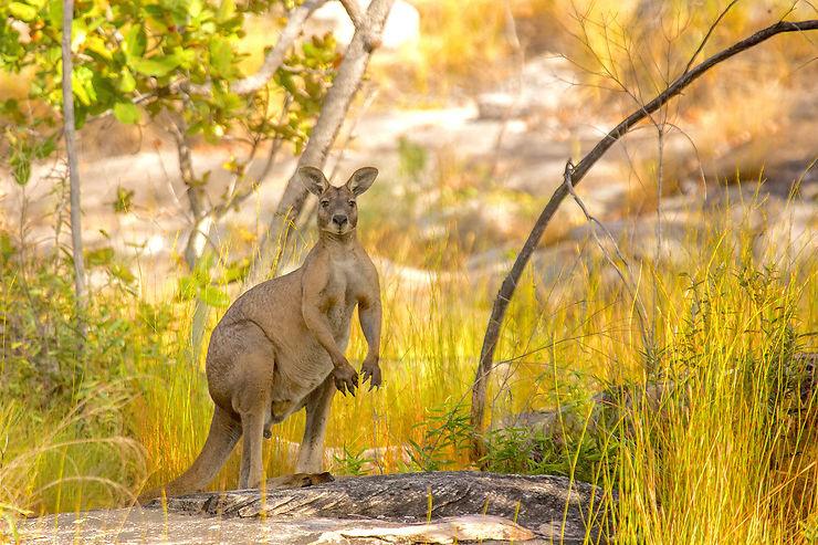 Kangourou au parc national de Kakadu, Territoire du Nord