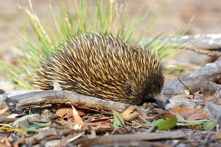 Échidné, Kangaroo Island, Australie du Sud