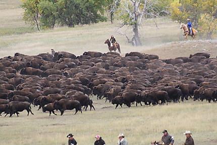 The Buffalo Round up