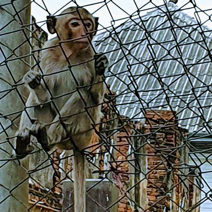 La planète des singes à Lopburi