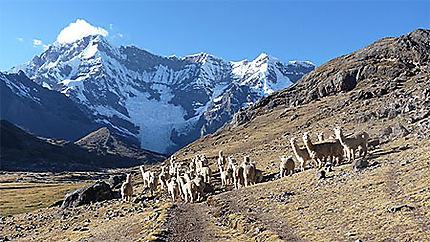 329f4bc19214 Cordillère Vilcanota   Montagne   Animaux   Andes péruviennes ...
