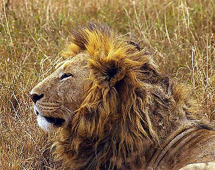 le vrai roi lion