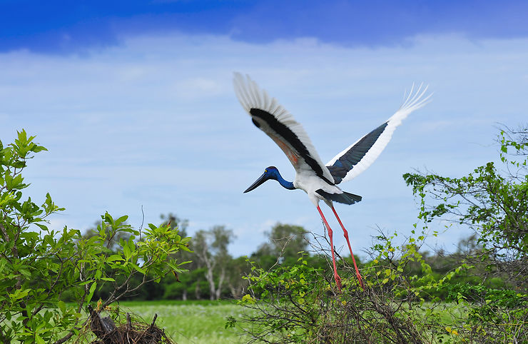 Jabiru, parc national de Kakadu, Territoire du Nord