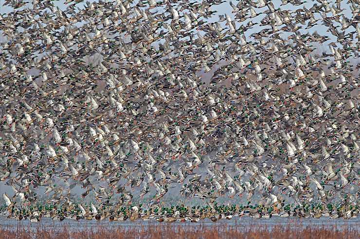 Envol de canards, Clarence Cannon Wildlife Refuge, Missouri
