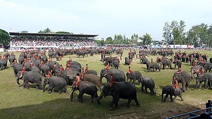 Rassemblement des éléphants de Surin