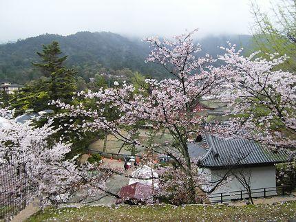 Sakura, cerisiers en fleurs, Japon