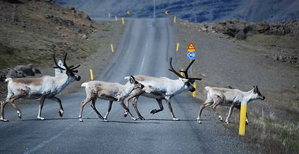 Priorité aux... rennes sur les routes d'Islande
