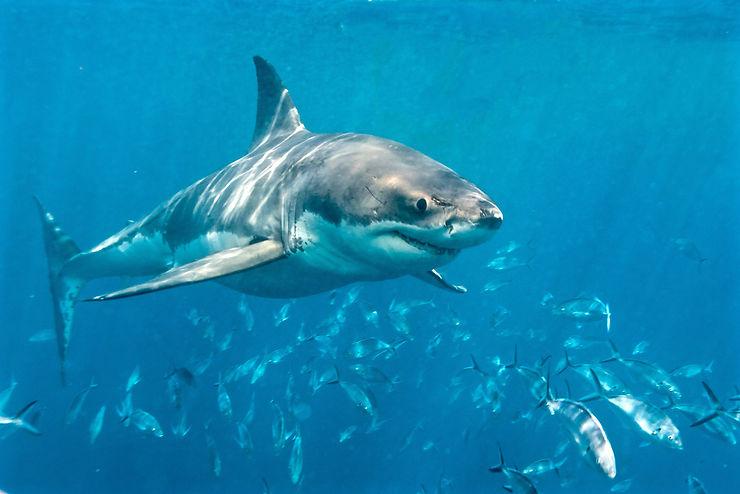 Grand requin blanc, Péninsule d'Eyre, Australie du Sud