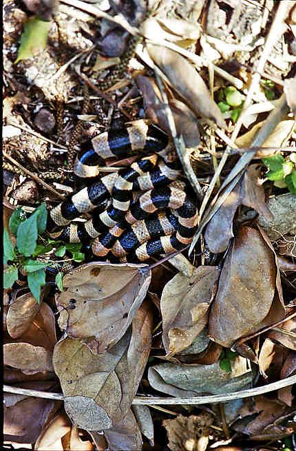 Un serpent dans les cactus