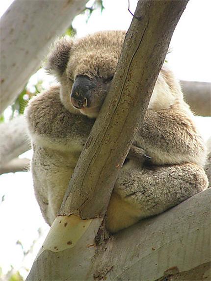 Koala à Cap Otway