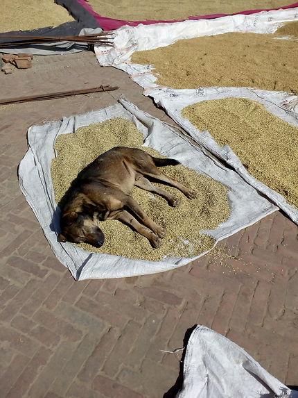 Récolte de riz au Népal à surveiller