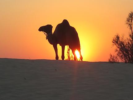 Chameau au coucher du soleil