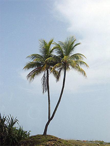 Palmiers jumeaux