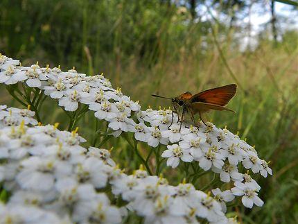 Papillon, Creuse
