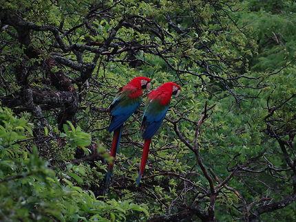 Perroquets au Buraco das Araras