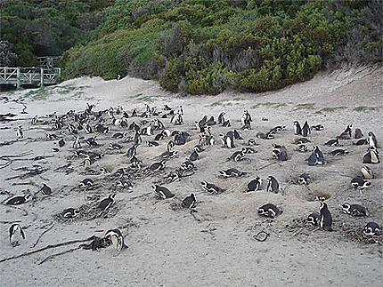 La plage des manchots