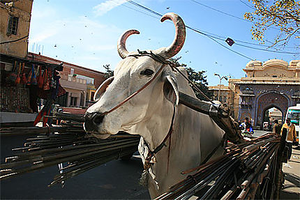 Holy cow in Jaipur