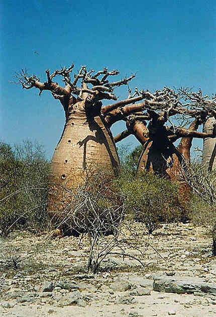 Baobabs obèses