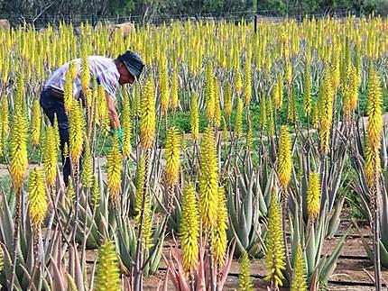 Plantation d 39 aloe vera fleurs fuerteventura canaries - Fleur d aloe vera ...