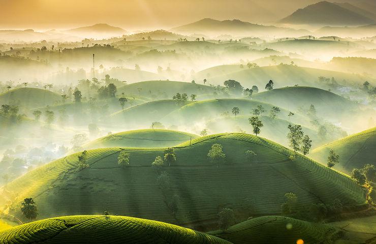 Brume matinale sur les plantations de thé, Long Coc, Vietnam