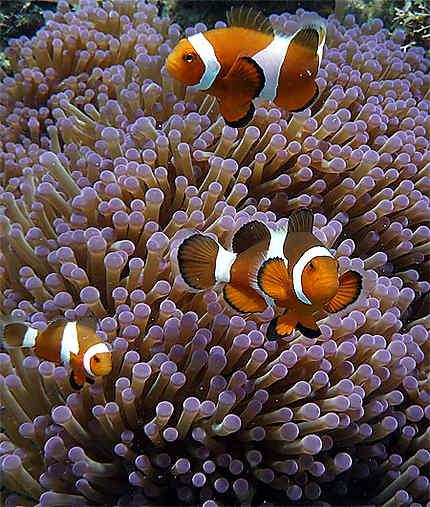 Famille de poissons clown