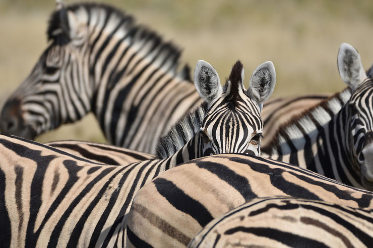 Rayures à Etosha, Namibie, par sahara88