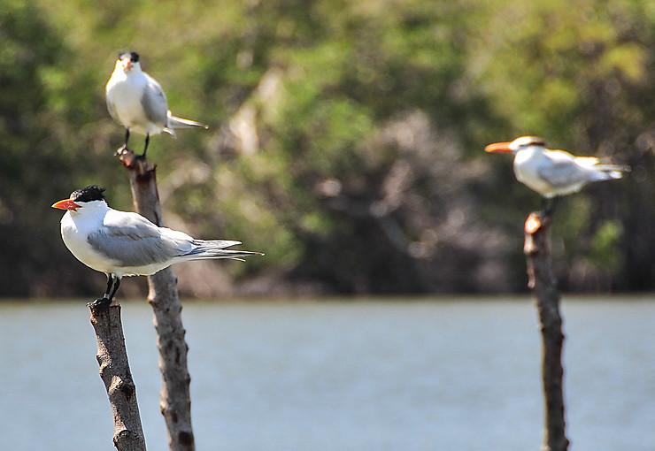 Les sentinelles de la lagune du Parc national de Baconao