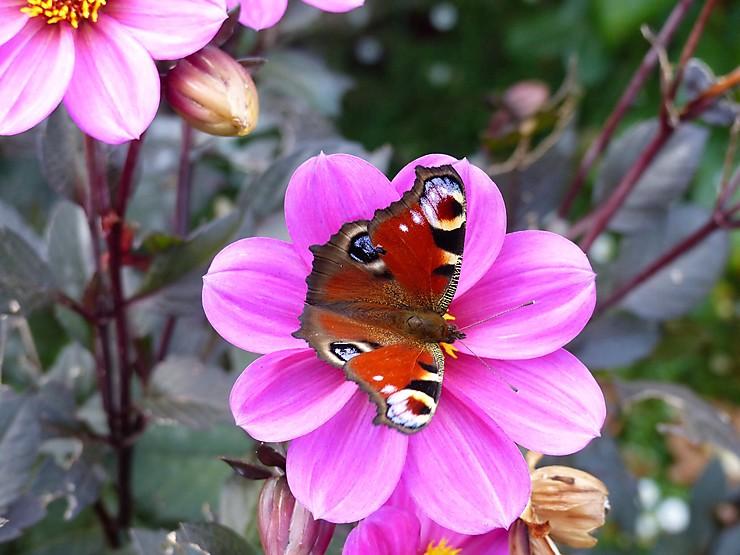 Papillon au Pouldu, Bretagne