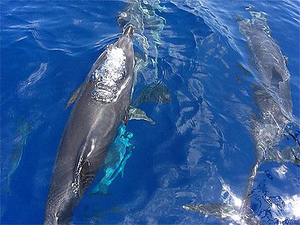 Bulles du dauphin