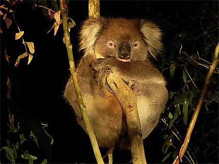 Koala la nuit