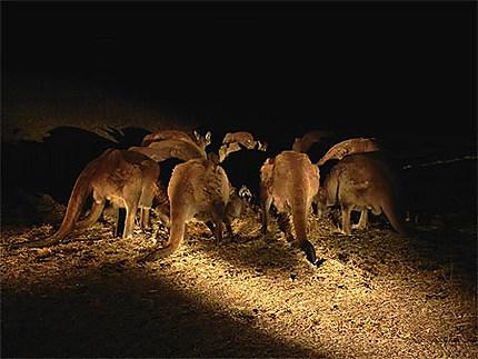 Groupe de kangourous la nuit