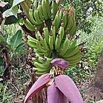 Somptueux régime de bananes